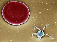 "Blood platelet or thrombocyte next to a red blood cell or erythrocyte.  SEM X10,000 (based on 4"" x 5"")"