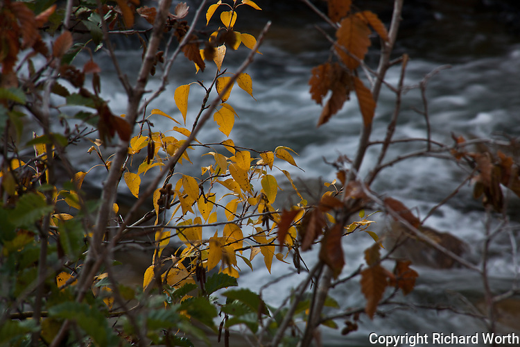 Gold leaves stand out against a background of rushing water where 49ers likely panned for gold a century and a half ago.  Photographed at Columns of the Giants Interpretive Walk, Stanislaus National Forest.
