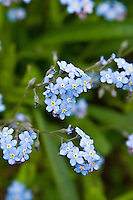 Bright blue Forget-me-not flowers (Myosotis)