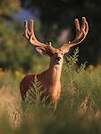 Velvet Deer