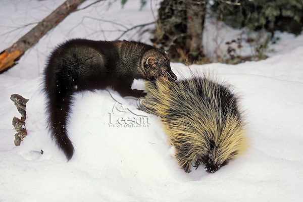Fisher (Martes pennanti) preying on Porcupine, which is its main prey. Winter. Rocky Mountains ...