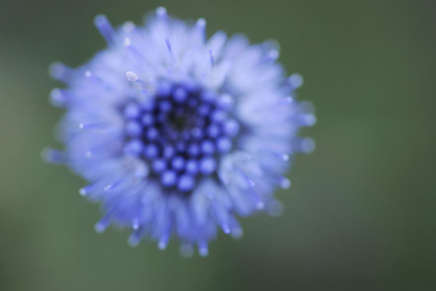 Common Globularia, Globularia vulgaris, La Serena, Extremadura, Spain