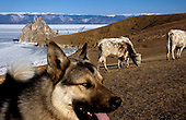 A dog and cattle on Olkhon Island on Lake Baikal in Siberia, Russia. .They are a group of five people: Justin Jin (Chinese-British), Heleen van Geest (Dutch), Nastya and Misha Martynov (Russian) and their Russian guide Arkady. .They pulled their sledges 80 km across the world's deepest lake, taking a break on Olkhon, the world's forth-largest lake-bound island. They slept two nights on the ice in -15c. .Baikal, the world's largest lake by volume, contains one-fifth of the earth's fresh water and plunges to a depth of 1,637 metres..The lake is frozen from November to April, allowing people to cross by cars and lorries.