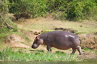Hippopotomus, Queen Elizabeth National Park, Uganda, East Africa