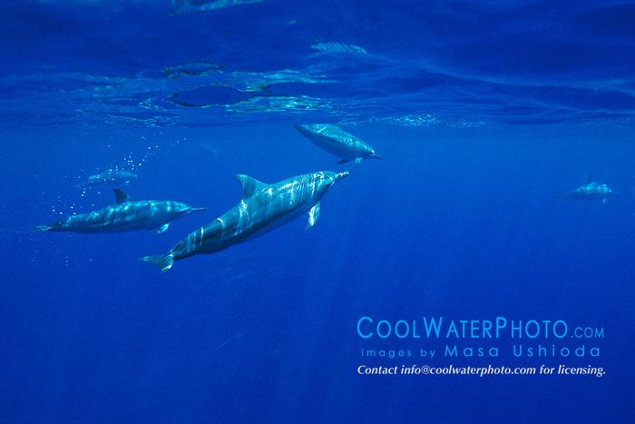 long-snouted spinner dolphins, Stenella longirostris, Kealakekua Bay, Big Island, Hawaii, Pacific Ocean