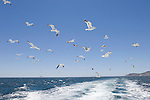 Santa Rosa Island, Channel Islands National Park & National Marine Sanctuary, California; a flock of Western Gull (Larus occidentalis) birds fly behind the boat off Santa Rosa Island , Copyright © Matthew Meier, matthewmeierphoto.com All Rights Reserved