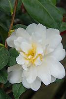 Camellia japonica Silver Anniversary