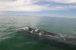 gray whale resting at surface