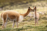 Vicuna with cria, Lauca National Park, Chile
