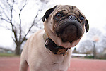 Malo the pug shows concern on an autumn visit to the park.