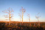 Bald Cypress trees in winter, near the Pa-hay-okee overlook area, Everglades National Park, Florida, USA