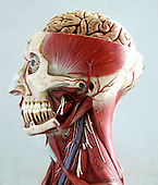 An anatomical model of the head and neck showing the musculature of the head and neck. The top half of the skull has been sliced open, displaying the top half of the brain. Anatomical models are commonly used for training purposes as they make for clearer demonstration than anatomical specimen. Royalty Free