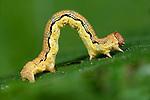 Mottled Umber Moth, Caterpillar, larvae, Erannis defoliaria, looping as it walks on leaf, Spuckles Wood, Kent Wildlife Trust, UK