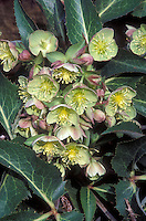 Helleborus sternii Boughton Beauty Hellebores