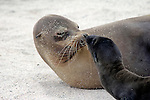 South America, Ecuador, Galapagos, North Seymour Island. Galapagos Sea Lion mother and pup.
