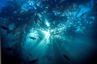Sunlight sines through a Kelp Forest in Monterey Bay, CA