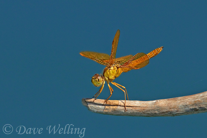 304570007 a wild mexican amberwing dragonfly perithemis intesa perches on a branch near el centro imperail county california united states