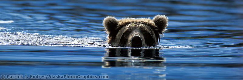 DIGITALLY MODIFIED IMAGE: (bears face enhanced) Brown bear in Brooks river, Katmai National Park, Alaska