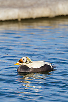 Drake, or male spectacled eider in breeding plumage, swims in a tundra pond on Alaska's arctic north slope.