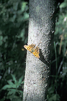 Gray Comma Butterfly in Point Pelee National Park