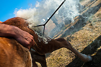 A wild horse foal is branded by a hot iron during the Rapa das Bestas (Shearing of the Beasts) festival in Torroña, Spain, 5 June 2011. The herds of of wild horses roam freely the hills of Galicia in the north-western Spain. Each year, in the beginning of summer, villagers herd horses down from the higher ground, rounding them up in the curro, a centuries-old stone arena. Here, ranchers catch the animals one by one and shear their manes and tails. Some of the young men, showing up their strength and courage, fight the untamed horses just with their bare hands. At the end of Rapa das Bestas, a 400-year-old Spanish tradition, the newborn foals are branded and all horses are released back into the wilderness.