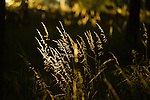 Backlit grass on a summer evening