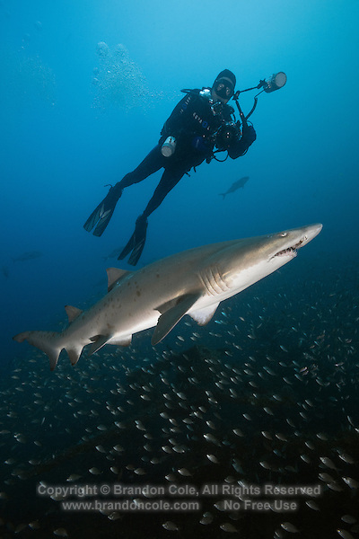 TP0593-D. Sand Tiger Shark (Carcharias taurus) and scuba diver (model released) swim above the shipwreck of the Atlas. Over 2000 ships have sunk off the North Carolina coast, an area often referred to as the Graveyard of the Atlantic. Storms and fog, pirates, and war have all taken their toll on passing ships. Many US ships, including the Atlas tanker, were sunk by German U-boats in World War II. North Carolina, USA, Atlantic Ocean.<br /> Photo Copyright &copy; Brandon Cole. All rights reserved worldwide.  www.brandoncole.com