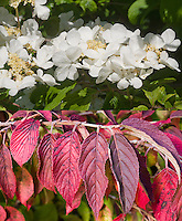 Viburnum plicatum tomentosum in two phases, flowers and fall autumn foliage