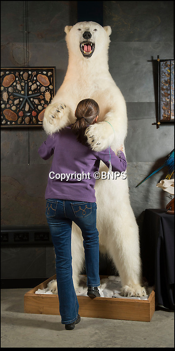 BNPS.co.uk (01202 558833)<br /> Pic: PhilYeomans/BNPS<br /> <br /> A taxidermy polar bear 'hugs' Summer Place employee Kate Diment.<br /> <br /> Est: &pound;20,000 - 30,000.<br /> <br /> A menagerie of stuffed animals, including a giraffe, a crocodile and even a polar bear, are expected to make thousands of pounds at auction.<br /> <br /> The weird and wonderful world of taxidermy is filling an auction house in Sussex as staff try to fit in more than 100 stuffed animals and another 100 skeletons and fossils.<br /> <br /> A growling 7ft 8in polar bear standing on its hind legs will probably be the main attraction of the stuffed wildlife, expected to fetch &pound;30,000.<br /> <br /> The bear was only killed in the last decade or so when it had to be put down after repeatedly raiding settlements in the Arctic and endangering lives. The body was then given to a taxidermist.<br /> <br /> Summers Place Auctions have a host of exotic animals, everything from lions and tigers, to zebras, camels and an ostrich, but Errol Fuller, curator of the Evolution sale, says none of the animals were killed for the purposes of taxidermy.<br /> <br /> A 100-year-old rhino head with a simulated horn, which is almost 3ft high, should make &pound;10,000 and a 9ft 10in long crocodile is estimated at &pound;4,000.