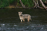 Gray wolf fishing with bears
