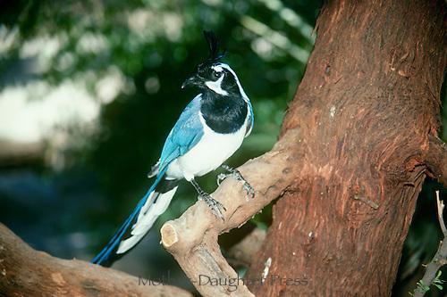 Magpie Jay, Calocitta formosa colliei, Perching on manzanita tree, Arizona