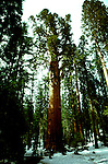 CA: Sequoia-Kings Canyon National Park, General Sherman Tree, Largest of the Sequoia trees, sequoiadendron giganteu, largest tree on earth         .Photo Copyright: Lee Foster, lee@fostertravel.com, www.fostertravel.com, (510) 549-2202.Image: catree206