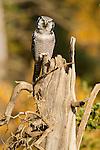 A northern Hawk-owl perches on a dead tree in Denali National Park, Alaska.