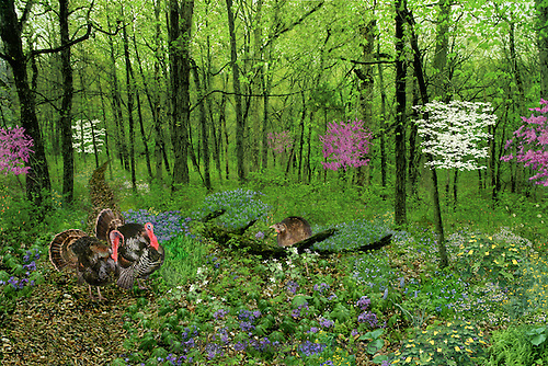 Two Tom turkeys in full mating colors meet female turkey, Meleagris Gallopavo, in spring blooming woods