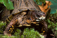 1R40-035x  Eastern Box Turtle - Terrapene carolina