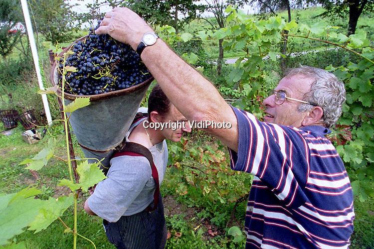 Foto: VidiPhoto..DODEWAARD - De druivenoogst bij herbergier en wijnboer Ino Venhorst langs de Waal in Dodewaard is dinsdag begonnen. Venhorst (l) oogst dit jaar voor het eerst. Zijn wijngaard telt ongeveer 1000 struiken (vijf soorten) en is de enige in Nederland die buitendijks is aangelegd en daardoor bij hoog water onder water komt te staan. Als eerste wordt de blauwe Regent geoogst. Daarvan kunnen ongeveer veertig flessen wijn gemaakt worden. De druiven worden geplukt in een ouderwetse en originele 'druivenmand'.