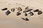 Harbor seals lay on the children's pool beach in La Jolla, California.