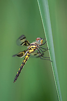379000001 a wild teneral female banded pennant celithemis fasciata dragonfly in austin travis county texas