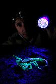 An arachnologist has detected a huge Scorpion (Hottentotta jayakari) using an UV light at night