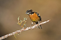 538660025 a wild male black-headed grosbeak pheucticus melanocephalus perches on a pine bough in madera canyon green valley arizona united states