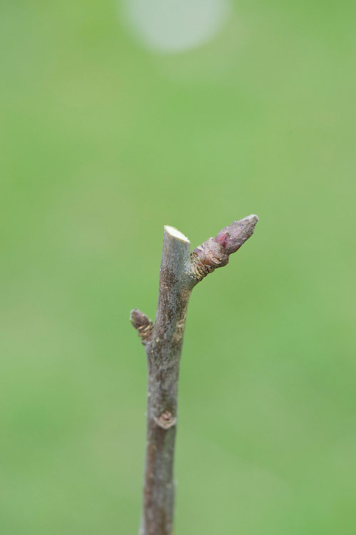 Cut at the wrong angle and you will leave an uneccessary stub. Moreover, water will drain towards the bud instead of away from it.