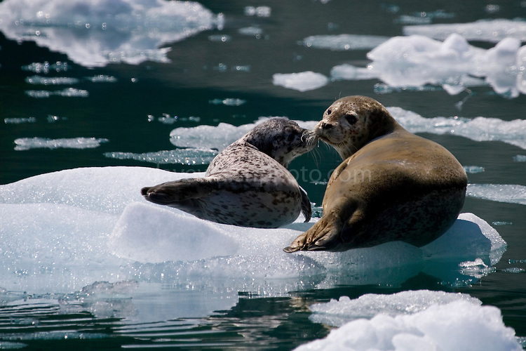 Mother and pup harbor, or Common Seals, hauled up on glacial ice from Aialik Glacier, Alaska. The glacier is part of the Kenai Fjords National Park...