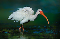 550500006 a juvenile white ibis eudocimus alba forages for waterborne prey in a small pond on a cattle ranch in the rio grande valley of south texas united states