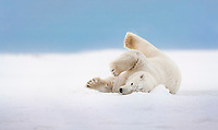 Polar bear rolls in the snow on an island in the Beaufort Sea on Alaska's arctic coast.