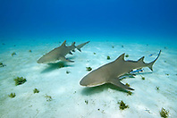 Lemon Sharks, Negaprion brevirostris, with Sharksuckers, Echeneis naucrates, West End, Grand Bahama, Atlantic Ocean