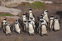 Jackass Penguins or African Penguins (Spheniscus demersus) group walking to shore,  Betty's Bay, South Africa.