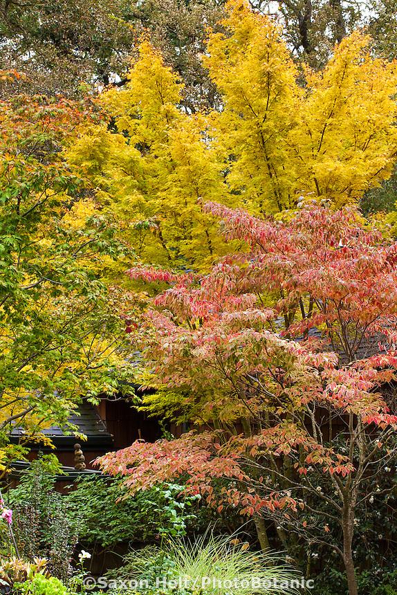Variegated dogwood tree (Cornus florida 'Cherokee Sunset') with Japanese Maple tree (Acer palmatum 'Sangu Kaku') in Gay Edelson garden in Lafayette, California with fall color