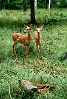 Two white tail deer fawns in woods nothern minnesota
