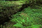 Hoh rain forest moss laden trees lush green foliage Olympic Peninsula Washington State USA