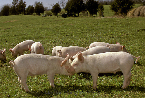 Pigs nuzzling in the field